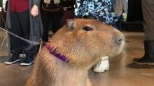 Willow capybara