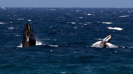Humpback whale babies 'whisper' to their moms to avoid detection by predators
