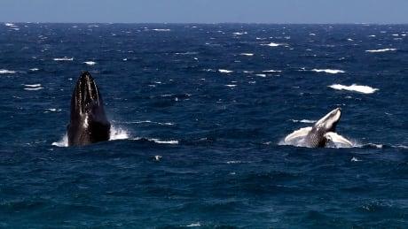 humpback-whale-whisper
