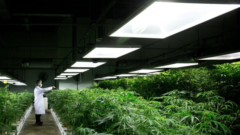 Not For The Faint Of Heart Why Getting A Marijuana Producer