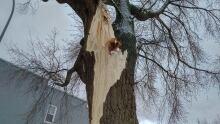 Thunder Bay broken tree 1