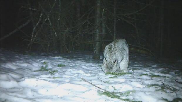 nb-lynx-trail-camera