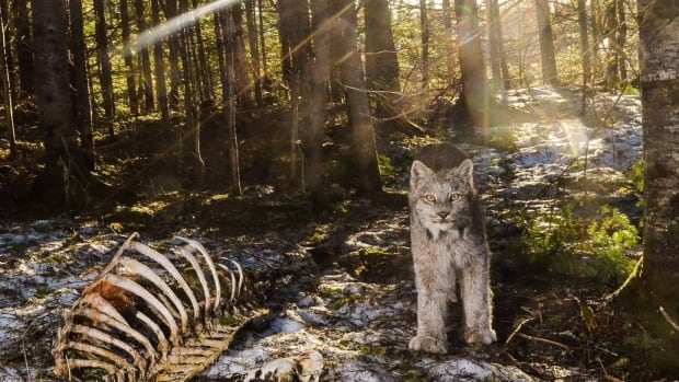 Arielle DeMerchant captured this lynx looking straight at her camera after months of trying to get the right shot. She rigged up a DSLR camera with a motion sensor in a wooded area  near Scotch Lake.