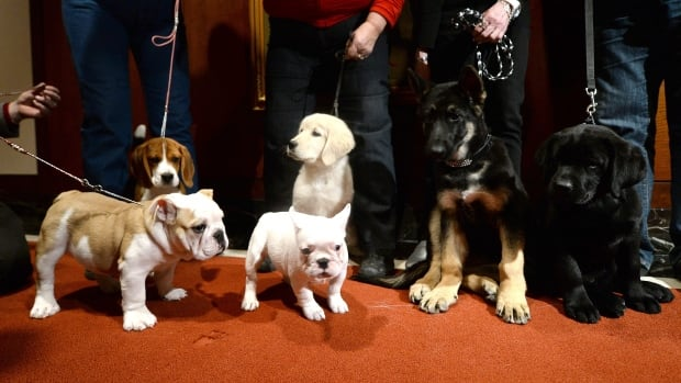 Puppies of the 2013 most popular dog breeds in the U.S. were unveiled to the press at the American Kennel Club in New York. Over the years dogs have been bred for work, and increasingly, looks.