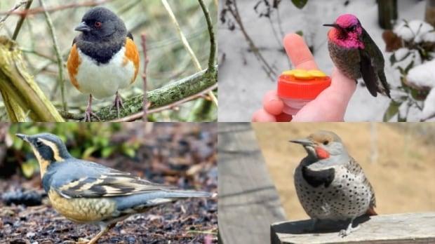 Vancouver bird election