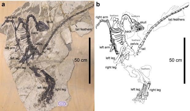 Troodontid dinosaur fossil