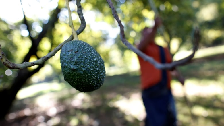 Canadians adore Mexican avocados, but prices are taking off