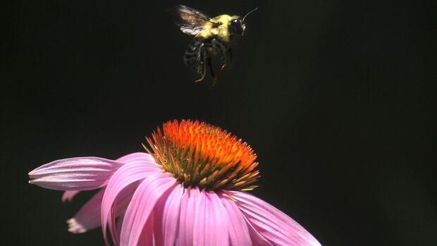 Bumblebee pink flower