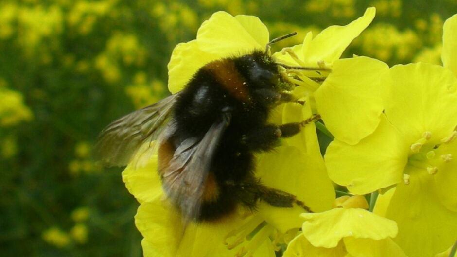 Bumblebee feeding on canola flowers
