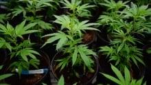 Marijuana Tax BC 20160826
