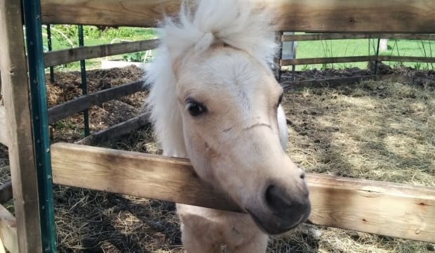 Odin the therapy pony in Guelph