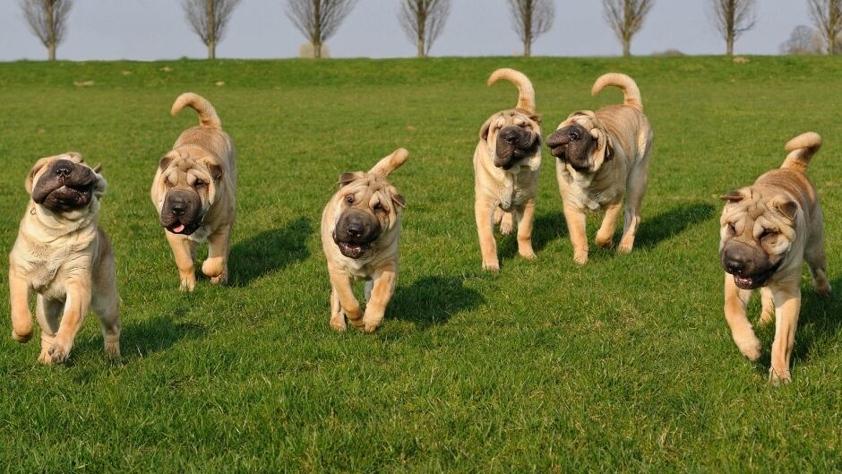 Scientists have a canine family tree that identifies 23 major groups of breeds.