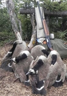 Hunted geese