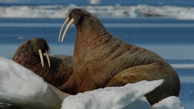 One herd of the Atlantic walrus is already extinct and two other herds could have the same fate, according to the Committee on the Status of Endangered Wildlife in Canada.