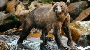'Thought I was a goner': B.C. man punches grizzly to survive attack