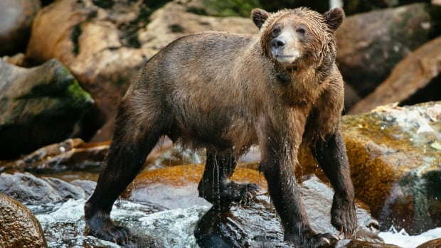 Two B.C. wilderness resorts are offering grizzly hunters free grizzly viewing packages in exchange for their grizzly bear tags.