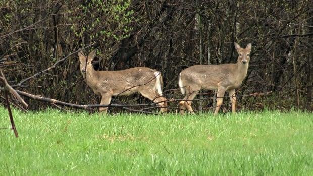 Deer gatineau