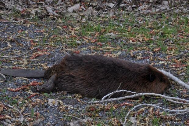Wildlife Species Spotted Outside Homes Deerbusters Canada