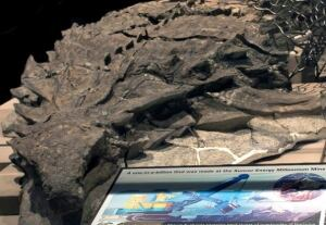 """The """"Suncor ankylosaur"""" was likely transported to its watery grave by rotting gases in its guts. (Alberta Tourism and Culture)"""