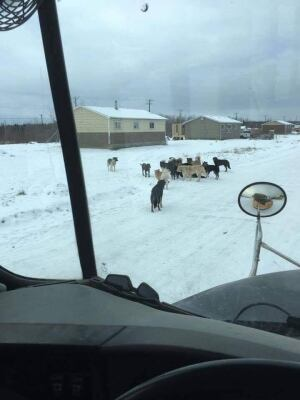 A pack of dogs on a remote First Nation
