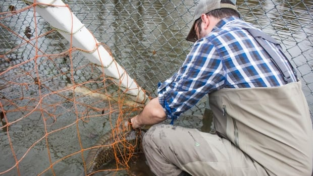 A man works to save a carp stuck in a soccer net in a park near the Lake of Two Mountains, which is part of the river delta widening of the Ottawa River where it meets the St. Lawrence River. The carp was displaced by severe flooding in Quebec.