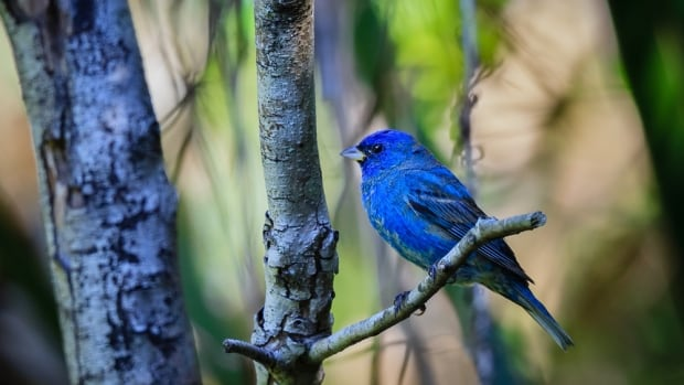 Researchers have found that nine species of birds, including the indigo bunting seen here, are having difficulty adjusting to earlier spring greening, which could threaten their existence.