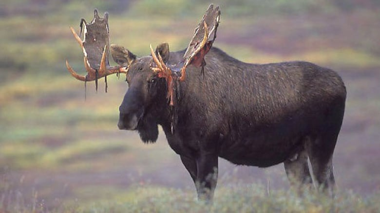 A Licence For Every 2 Animals Hunters Say Newfoundland Moose