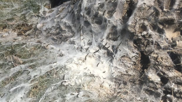 Residents on Broda Bay in Brandon have scattered powdered insecticide around trees on the street, as forest tent caterpillars have invaded the area.