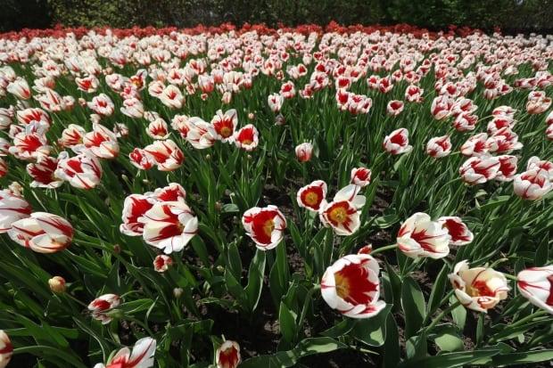canada 150 tulip festival ottawa commissioners park dows lake