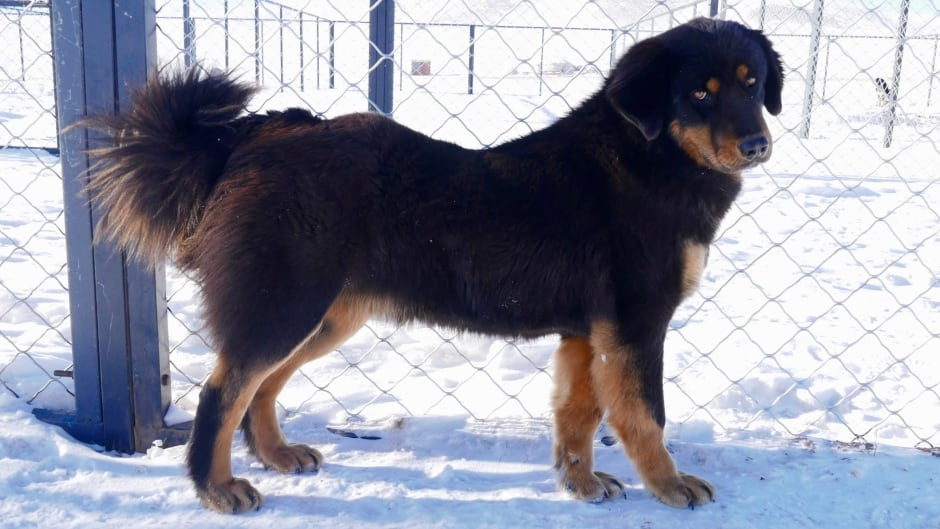 The Mongolian Bankhar dog originated 15,000 years ago in Central Asia.