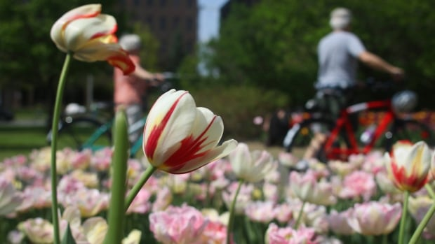 Cyclists walk past a grove of tulips — including a couple of the Canada 150 varieties — at Commissioners Park in Ottawa on May 17. 2017.