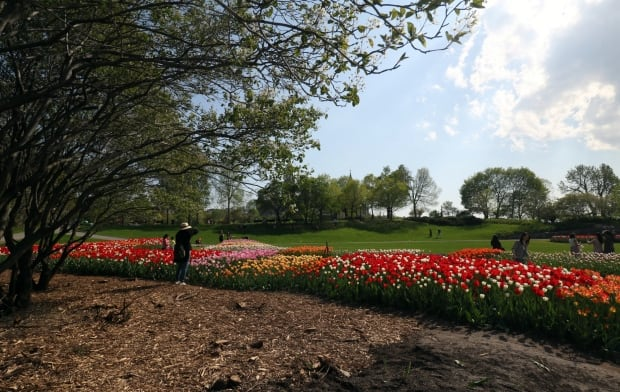 tulips major's hill park ottawa canadian tulip festival may 18 2017