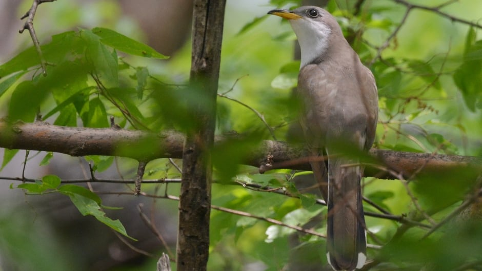 As climate change has shifted spring, certain bird species like the yellow-billed cuckoo, aren't able to adjust.