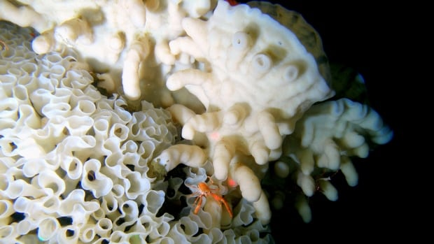 Glass sea sponge reef