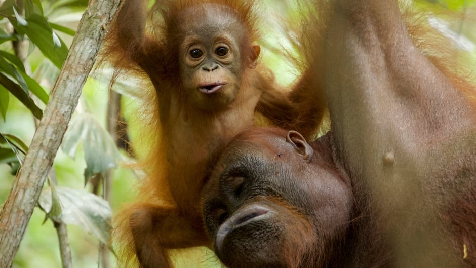 Wild orangutan mother and 11-month-old infant from Borneo.