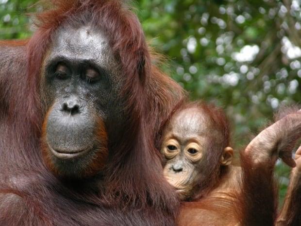 An infant orangutan nursing.