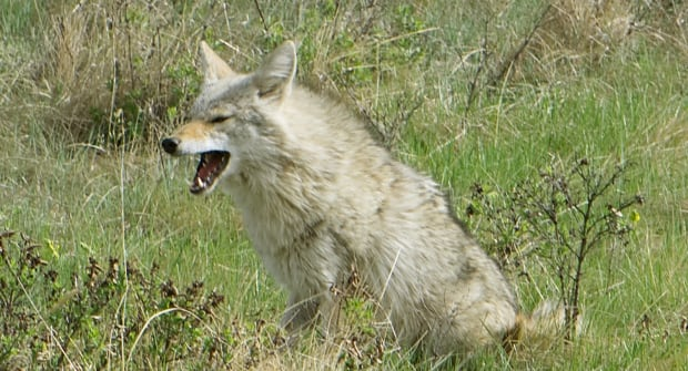 Coyote in NW Calgary park
