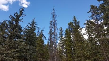 Whitehorse forest