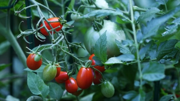 Tomatoes love self-watering containers because they deliver a constant water source