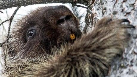 Saskatchewan woman helps clumsy porcupine conquer snowbank in viral video