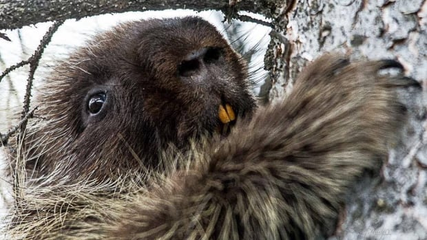 Watch as a Saskatchewan woman saves the day for a perplexed porcupine | CBC News