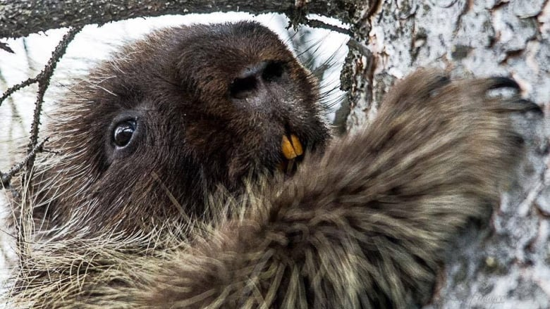 Watch as a Saskatchewan woman saves the day for a perplexed porcupine