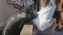 Seal lion grabs girl Steveston dock
