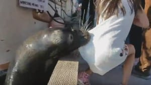 Viral video sea lion acted in frustration because feeding stopped, expert says