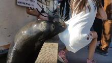 sea lion grabs girl steveston