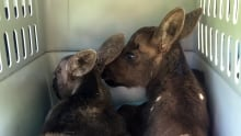 Baby moose now safe
