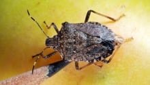 The stink bug destroys apple, peach and pear crops.
