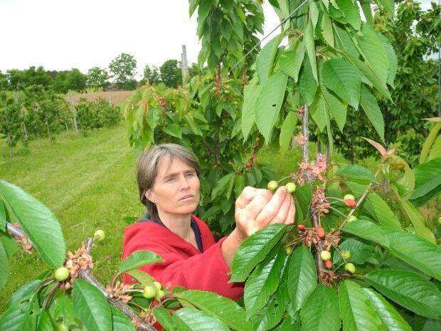 Entomologist Suzanne Blatt checks a crop for signs of stink bug.