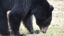 Northern B.C. black bear