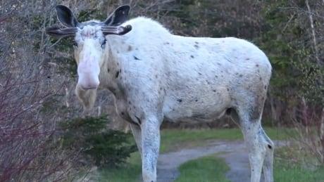 Piebald moose Black Duck Siding Gerard Gale